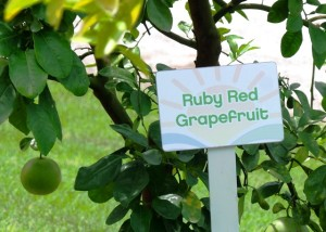 ruby_red_grapefruit-300x214